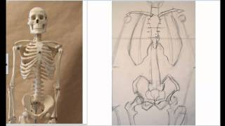 Drawing the Skeleton Front View preparation for Life Drawing