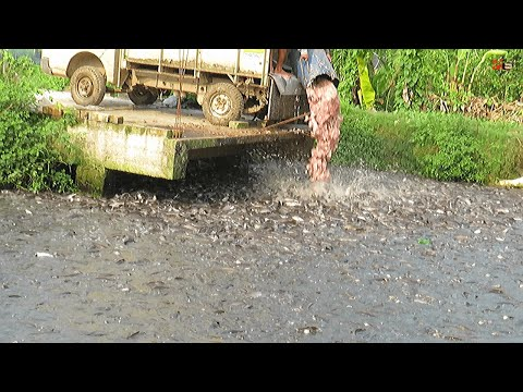 Unbelievable! Million Of Big Hybrid Magur Eating Food In Pond- Big Catfish Farming Business In India