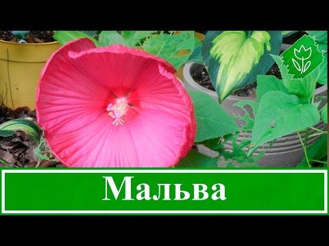 Цветок мальва – посадка и уход, выращивание мальвы из семян
