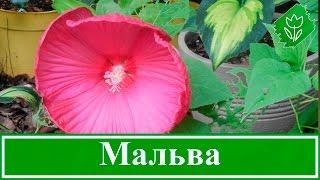 Цветок мальва – посадка и уход, выращивание мальвы из семян(, 2016-02-03T16:27:43.000Z)