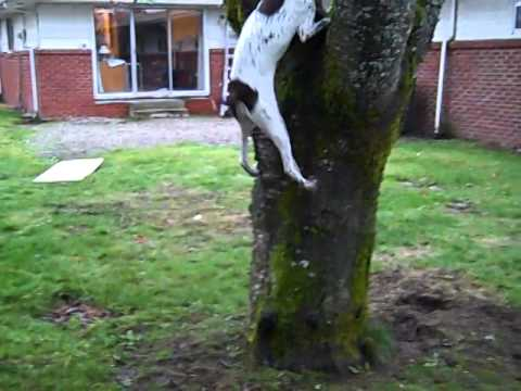 German Shorthair Pointer Climbs Tree