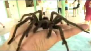 Riesige Spinne/Tarantel, so groß wie Hand