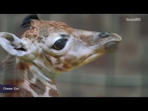 Thumbnail: Rare Baby Giraffe Born at UK Zoo Is Too Cute for Words