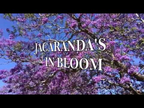 SYDNEY - JACARANDA'S IN BLOOM Mp3