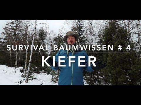 Survival Baumwissen # 4 - Kiefer(n)