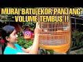 Murai Ekor Panjang Gaya Materi Mewah  Mp3 - Mp4 Download