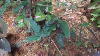 Shy Plant Mimosa Pudica in Roseau Dominica