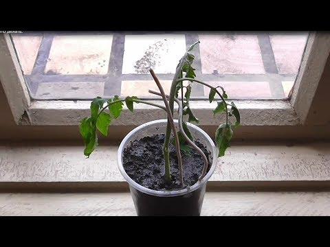 Вопрос: Почему у помидорной рассады нет корней и что делать?