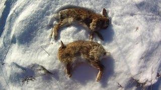 Small Game Hunting #7: 2 Cottontail Rabbits by 20 Ga. Shotgun