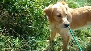 Bailey The Berry Picking Dog