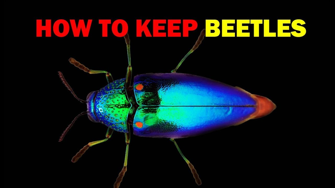 How to keep Beetles (Weird and Wonderful Pets Episode 5 of 15)