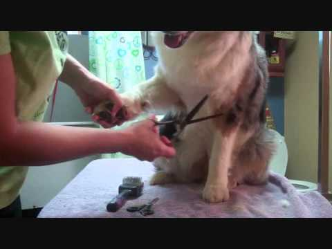 Grooming the Australian Shepherd Part 4-Feet