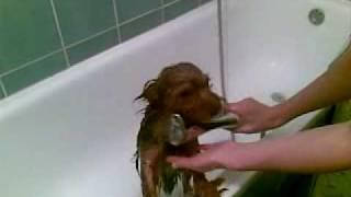 Yorkshire Terier, Jorkširski Terijer Aksi Se Kupa