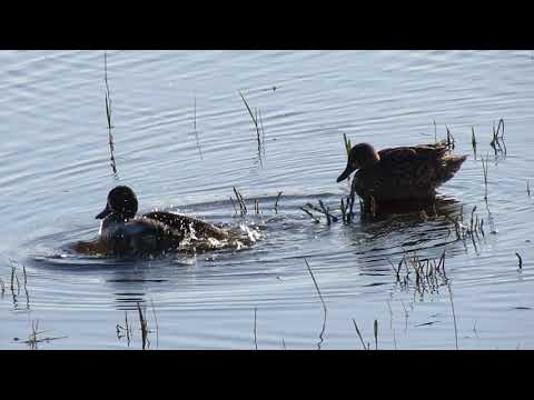 Blue-winged Teals Ducks in courtship 5 males 1 female NW of Silton SK May 13 2018