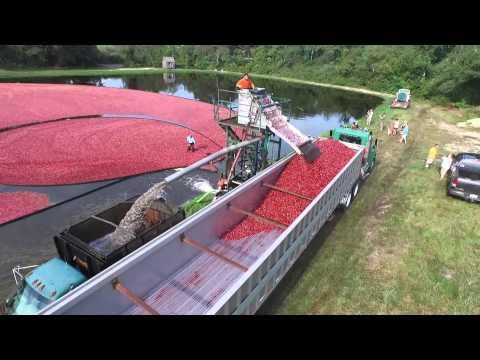 Cranberry Harvest Cape Cod Ma