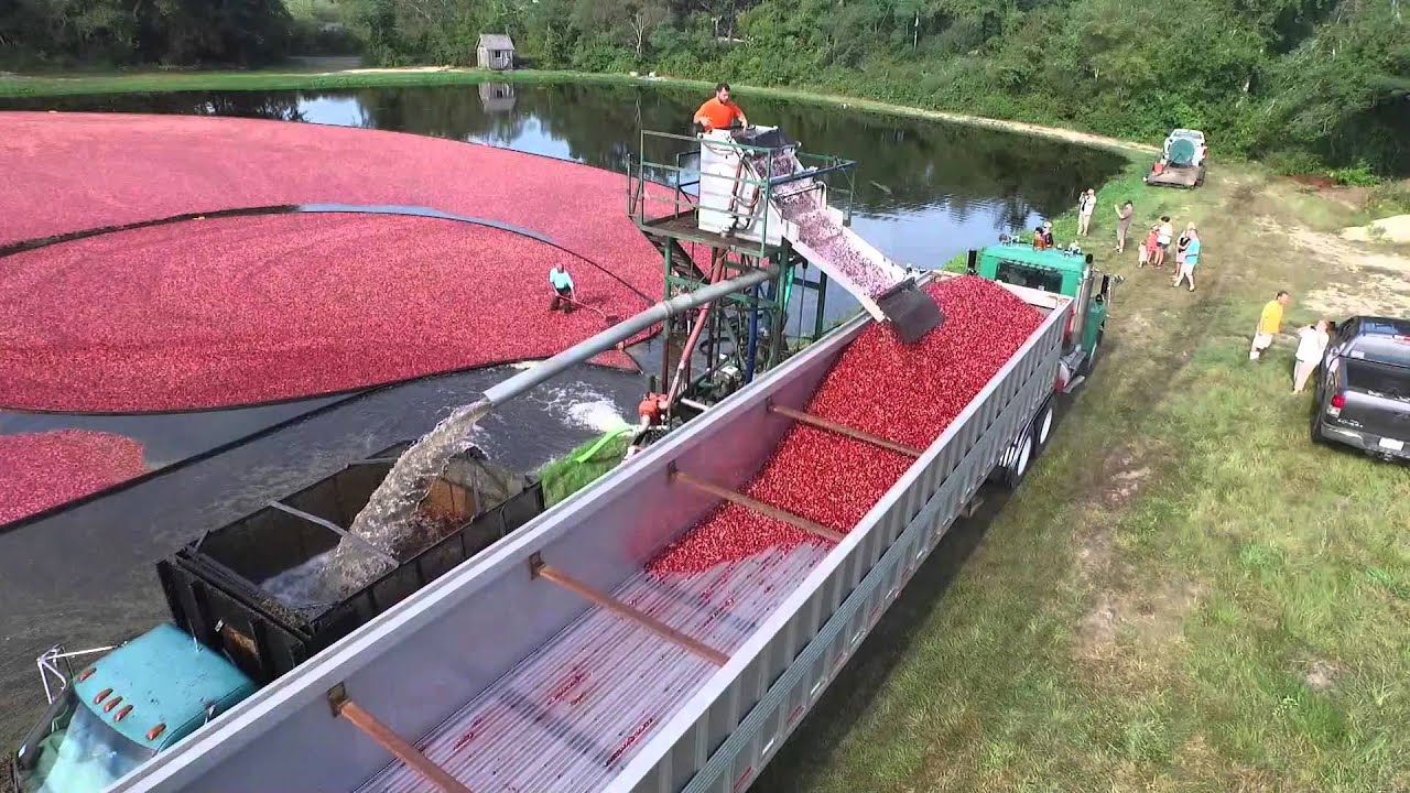 Cranberry Harvest Cape Cod Ma Youtube