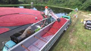 Cranberry harvest, Cape Cod, MA