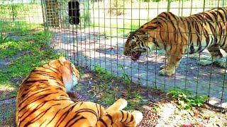देखिये क्या हुआ जब असली शेर के सामने नकली शेर को रखा गया , जब जानवरों के साथ किये गए अनोखे मजाक