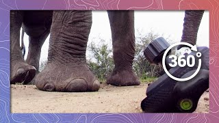 Elephants Prefer Fruit | Camera Doesn't Pass the Smell Test thumbnail