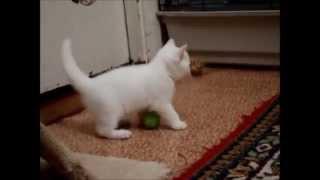 Белый британский котёнок д  р  18 сентября 2015 г  ПРОДАЖА