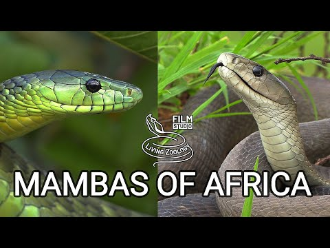Black mamba and green mambas  - the most feared venomous snakes of Africa, but are they so deadly?