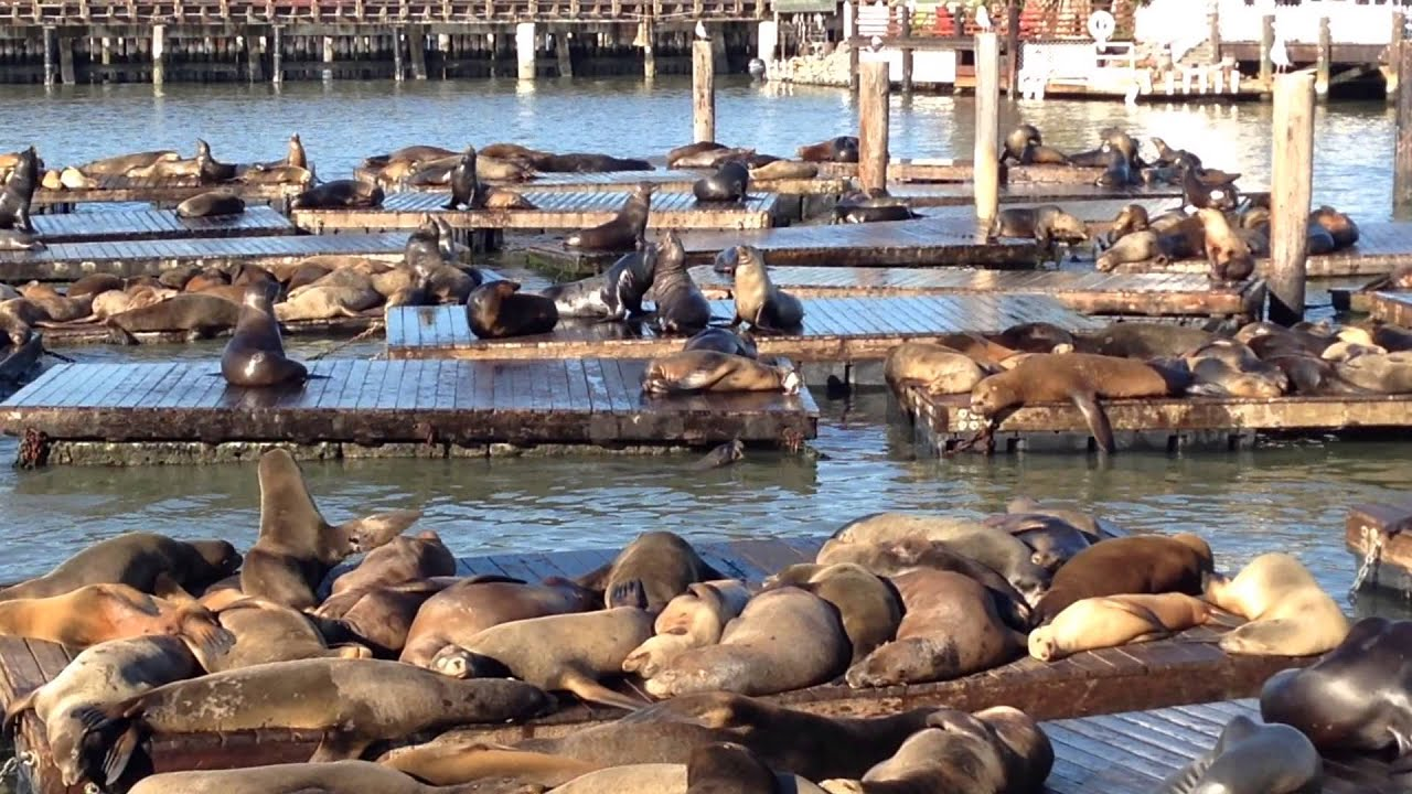California Sea Lions - Pier 39 - San Francisco California
