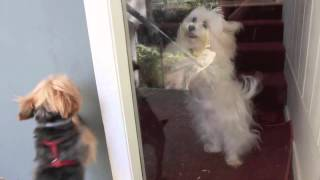 Yorkie And Maltese Dog Friends Are Reunited