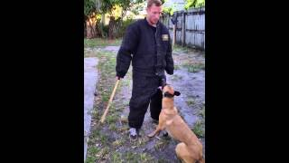 Trained Belgain Malinois For Sale