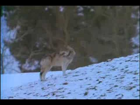 Wolves: A Legend Returns to Yellowstone part3