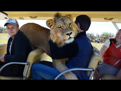 Taigan Lion Park - Where Lions Hug Tourist