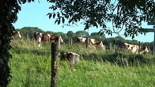 Vaches montbéliardes au Cirque de Ladoye.