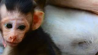 Popeye drag baby's head , Why monkey not allow baby getting milk 578