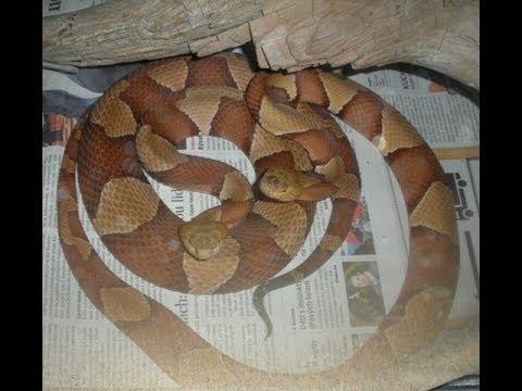 Agkistrodon contortrix laticinctus - feeding time