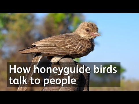 How honeyguide birds talk to people