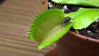 Venusfliegenfalle vs Kaefer -  Venus fly trap vs bug - fleischfressende Pflanzen