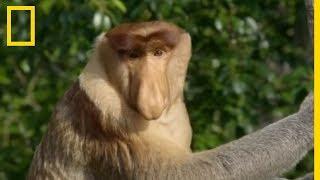 L'immense nez de ce singe lui sert à attirer les femelles thumbnail
