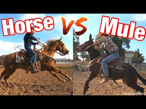Horse Vs Mule: Who Is Faster? 100 Yard Race.
