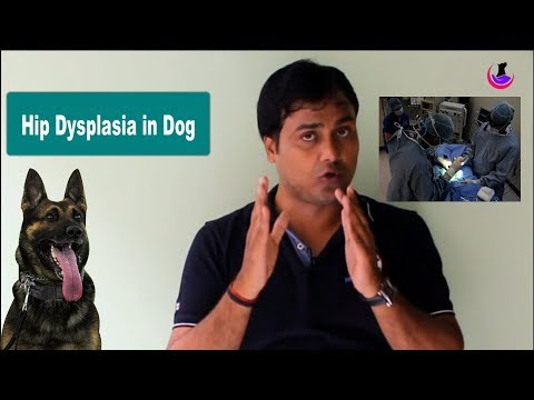 Hip Dysplasia in dogs: Suggested Cure ( Hindi )