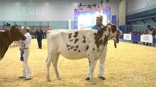 Suprême Laitier 2017 - Génisse Senior - Holstein rouge