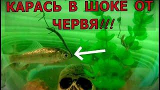 Смеялись все Карась первый раз пробовал Червя Насадка Наживка для рыбалки