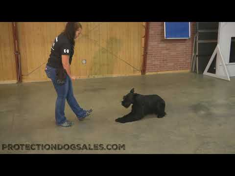 "Giant Schnauzer ""Kelso"" 16 Months Fun Obedience/Naturally Protective Dog For Sale"