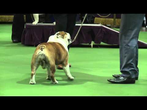 Bulldog Westminster Kennel Club Dog Show 2016