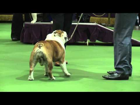 Bulldog Westminster Kennel Club Dog Show 2016