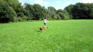 How To Exercise Dogue De Bordeaux Eve And Zoe