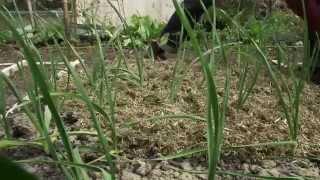 How to grow garlic weeding and mulching