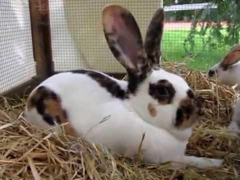 Dreifarbenschecke Tri Coloured Checkered Rabbit