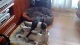 Boston Terrier Vs Staffordshire Bull Terrier