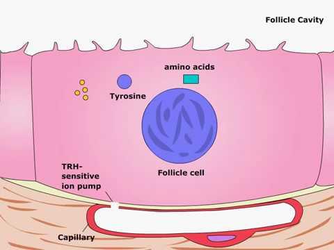 Тиреотропный гормон: норма, избыток или дефицит