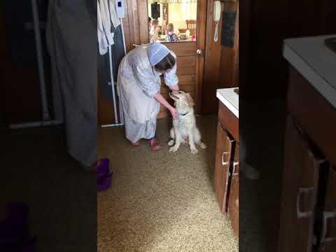 PuppyFinder.com : Dolly goldendoodle