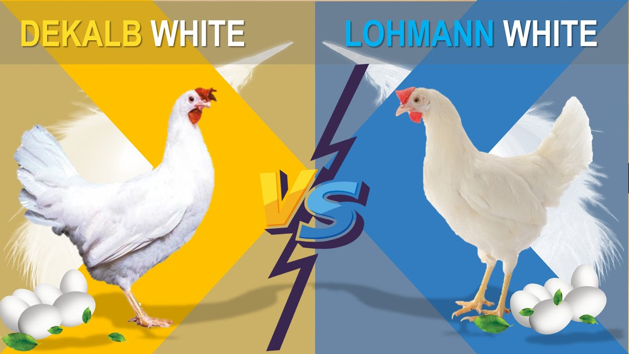 Download Dekalb vs Lohmann  The Comparison of Two Popular Hybrid Chicken Layers for Commercial Egg Production